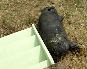 All the excitement wore that pig out - nap time!