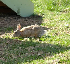 Mrs. Foo Foo was recently spotted sunning herself in the barnyard.