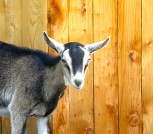 He's the George Clooney of goats.  Drop dead gorgeous with a twinkle in his eye!