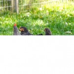 Roosters Fail, Hens Are Happy