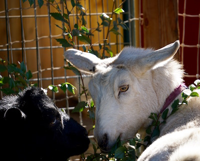 It's a huge yard, goats. You really don't need to share the same plant!