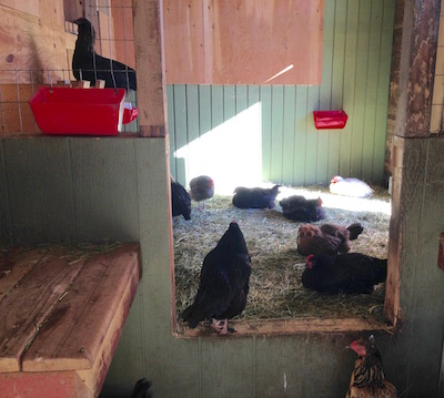 It's an afternoon chicken party in the shed.